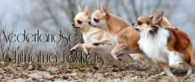 Chihuahuafokkerskristy banner